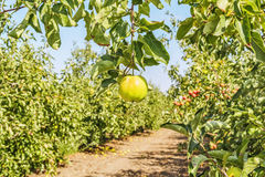 Apple on a branch against the backdrop of an orchard Royalty Free Stock Image