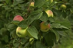 Apple branch. A branch of apples on a tree in the garden Stock Photos
