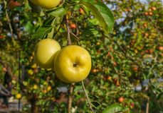Apple branch with apples variety Antonovka. Winter late variety.Autumn orchard.  stock photo