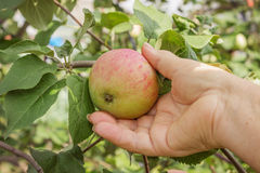 Apple on a branch and arm of an elderly woman Royalty Free Stock Image