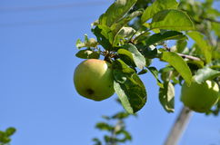 Apple on the branch Stock Image