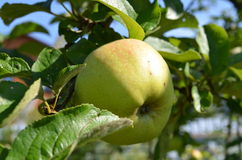 Apple on the branch Royalty Free Stock Image