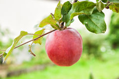 Apple on a branch Royalty Free Stock Photo