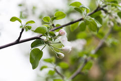 Apple branch with blooming white flowers and green leaves. Macro view fruit tree. spring time in the garden. soft Stock Image