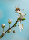Apple branch blossom with bee. On blue sky Stock Photography