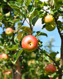 Apple on a branch close-up Stock Photography