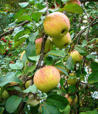 Apple on branch. Delicious apples on a branch in a garden Stock Images