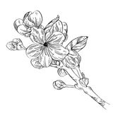 Apple branch with flower ink sketch on white background. Vector illustration for your design royalty free illustration