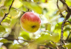 Apple on branch Stock Photography