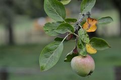 Apple on the branch in the garden stock image