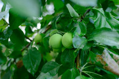 Apple branch Royalty Free Stock Images