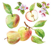 Apple branch with leaves and fruits in watercolor Stock Photography