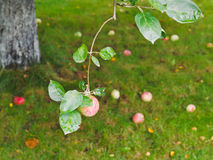 Apple on branch over fallen ripe fruits Stock Photo