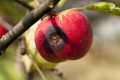 Apple on a branch. Photographed close-up apple tree on which hang ripe apples Royalty Free Stock Photos