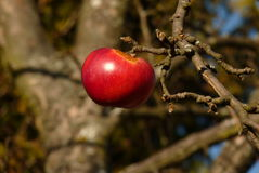 Apple on a branch Royalty Free Stock Photos