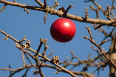 Apple on a branch Royalty Free Stock Image