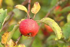 Apple on branch Royalty Free Stock Photo