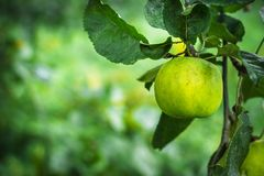Apple on a branch. Selective focus. Copy space Stock Photo