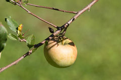 Apple on branch Stock Image