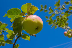 Apple on a branch on sky background Stock Photography