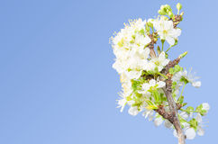 Apple branch spring blossom stock photography