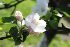 Apple branch in the sun. Apple bud in the spring sunshine Royalty Free Stock Photo