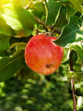 Apple  branch  tree Stock Images