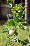 Apple branch tree with one ripening apple in summer day closeup Royalty Free Stock Photos