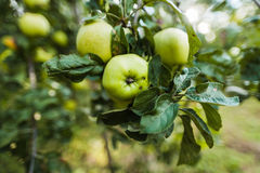 Apple branch Royalty Free Stock Image