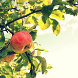 Apple on the branch Royalty Free Stock Images