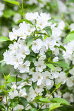 Apple branch with white blossoms flowers Royalty Free Stock Images