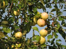 Apple branches with small northern apples stock images