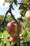 Apple on the branches Stock Image