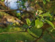 Apple bud. On a branch Stock Photos