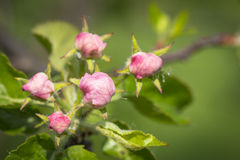 Apple buds Stock Images