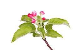 Apple buds and leaves isolated against white Royalty Free Stock Photos