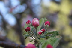 Apple buds Stock Photos