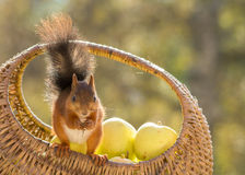 Apple care taker. Squirrel standing on and looking out of a apple basket Royalty Free Stock Photos