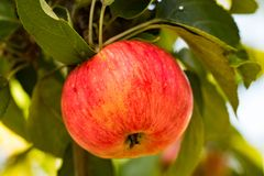 Apple che cresce su di melo in giardino Immagini Stock Libere da Diritti