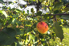 Apple che haning su un albero nella caduta Fotografie Stock Libere da Diritti