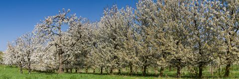 Apple and Cherry tree blossom near Ockstadt Royalty Free Stock Images
