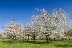 Apple and Cherry tree blossom near Ockstadt Stock Image
