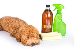 Apple cider vinegar effective as natural flea repellent and all. Purpose cleaner for pets royalty free stock photography