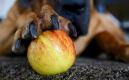 Apple in claws Royalty Free Stock Images