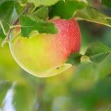 Apple closeup Stock Image