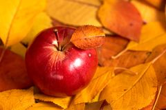 Apple closeup on fallen leaves background, autumn season Stock Image