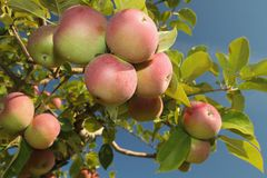 Apple cluster Stock Photos