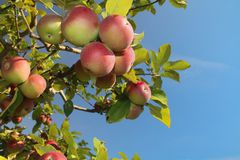 Apple cluster Stock Images