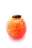 Apple with cockroach royalty free stock photography