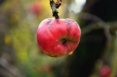 Apple in the cold. Bio apple in the cold late autnumn, bofore harvest Royalty Free Stock Image